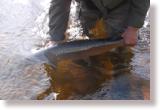 Releasing a salmon